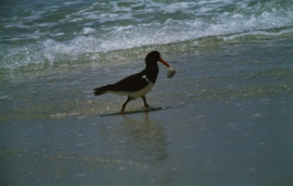 Oyster Catcher image